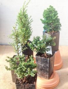 Miniature conifers. Front-Back L-R: Ulmus parviflora 'Hokkaido';Cotoneaster microphyllus 'Thymifolius'; Ilex cremate 'JerseyJewel'; Juniperus communis 'Miniature'; Chamaecyparis obtusa 'Thowell'