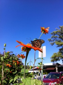 Monarch butterflies on tithonia