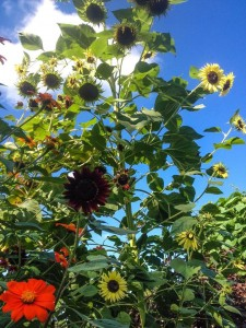The sunflowers, planted from seed, towered over the garden...