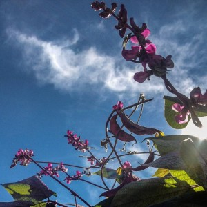 Hyacinth bean vine, sillouhetted against a blue sky...
