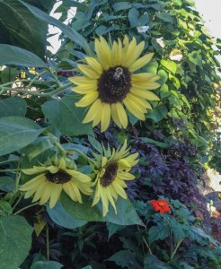 One of the many sunflowers in the garden...