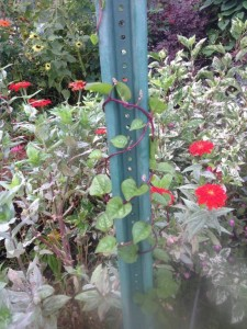Malabar spinach vine