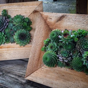 Cedar Frames with Hen and Chicks