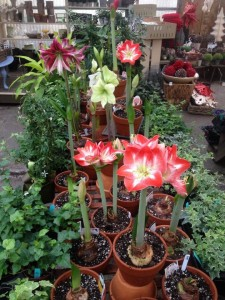 Amaryllis in the greenhouse...