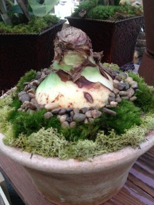 Decorative moss and pebbles dress up this amaryllis bulb...