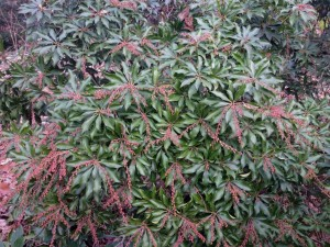 The Japanese pieris is full of buds...