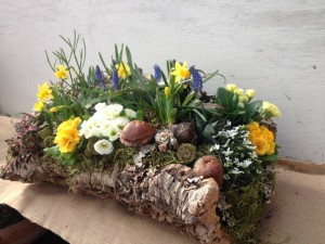 This cork bark planter is filled with succulents, spring bulbs, candytuft and primroses...
