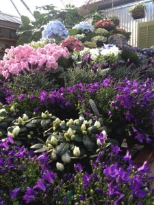 Hydrangeas, azaleas and purple campanula