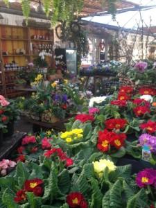Primroses in the greenhouse...