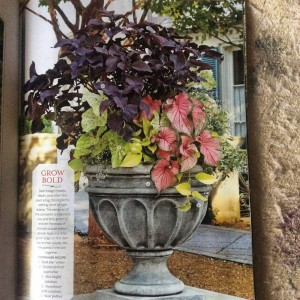 In this large shade planter I decided to use a trailing 'Neon' Pothos instead of the ubiquitous chartreuse potato vine. Don't be afraid to use houseplants in outdoor shade planters! Here coleus, caladiums and an airy white euphorbia complete the design... Photo Courtesy Southern Living Design