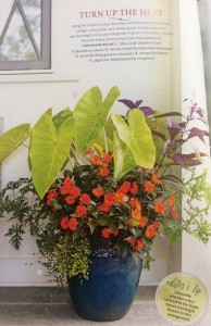 A pretty blue glazed pot was the starting point for my planting using a dramatic elephant ear called Maui Gold. Look at that color! This was featured on the cover too... Photo Courtesy Southern Living