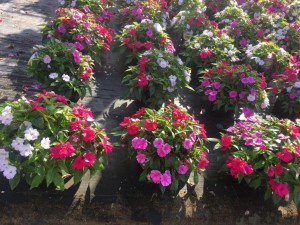 Bounce impatiens - photo courtesy Ball Hort
