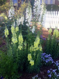 Yellow snapdragons and white foxglove...