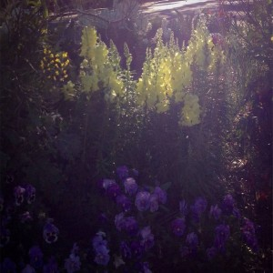 Early morning light on the snapdragons and pansies...