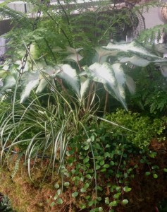 This large hanging basket uses caladiums, angelvine, a Carex and a mother Fern in the very center...