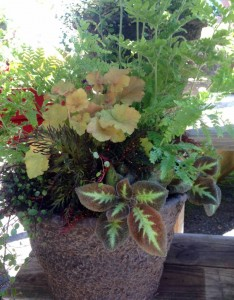 The trailing plant here is an episcia...