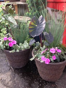A black elephant ear, 'Bounce' impatiens, spiky juncus and variegated creeping fig will all appreciate steady moisture through the summer...