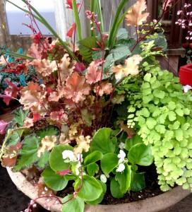 Contrasting leaves of Heuchera, maidenhair Fern, Babywing begonia and Fuschia 'Gartenmeister'...