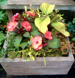 A large leaf coleus and a small leaf coleus share space with a SunPatiens and angel vine in a cast stone 'barn board' planter...