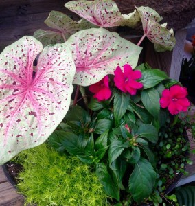 'Miss Muffet' caladium and 'Bounce' impatiens under planted with scotch moss...