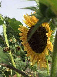 Better Late Than Never Garden reseeded sunflower June26 2015