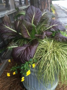 'Red Giant' Mustard with Carex