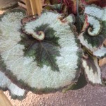Escargot Begonia Huge Leaf