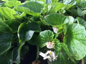 BabyWing Begonia