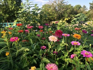 'Better Late Than Never' Pollinator Garden Summer 2016
