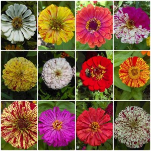 Zinnia Collage