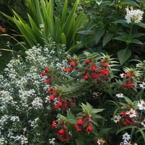 Cuphea 'Bat Face' Alyssum, Pentas, White Roof Iris - Kris' Garden