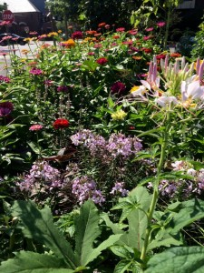 Cleome and Zinnias 'Better Late Than Never' Pollinator Garden