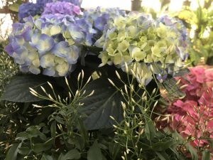 Hydrangeas and Jasmine