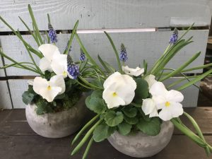Pansies and Muscari