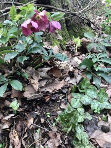 Lenten roses and Trillium