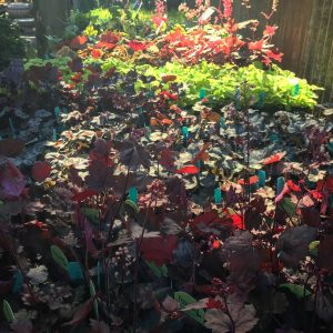 Heucheras - March