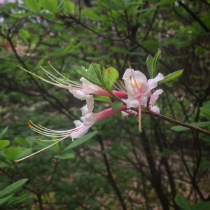 Native Azalea R. canescens bloom