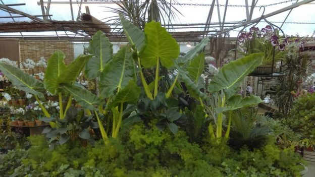 Alocasia lutea