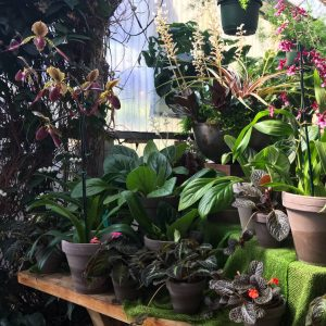 Paph, Chiritas, Episcias, Oncidium, and Jewel Orchid
