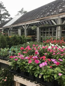 Nursery Late June 2018 - Vinca