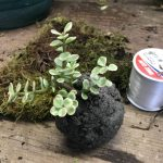 Peat Moss/Cat Litter Soil around a Portulacaria Kokedama