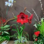 Holiday Arrangements - Amaryllis