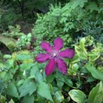 Clematis 'Niobe' - Kris' Garden